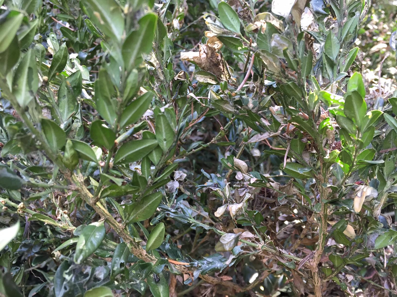 hausmittel gegen buchsbaumzünsler
